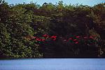 Scarlet Ibis, Trinidad, Republic of Trinidad and Tobago