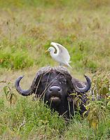 Cape buffalo(Syncerus caffer) with egret, Lake Nakuru National Park, Kenya.