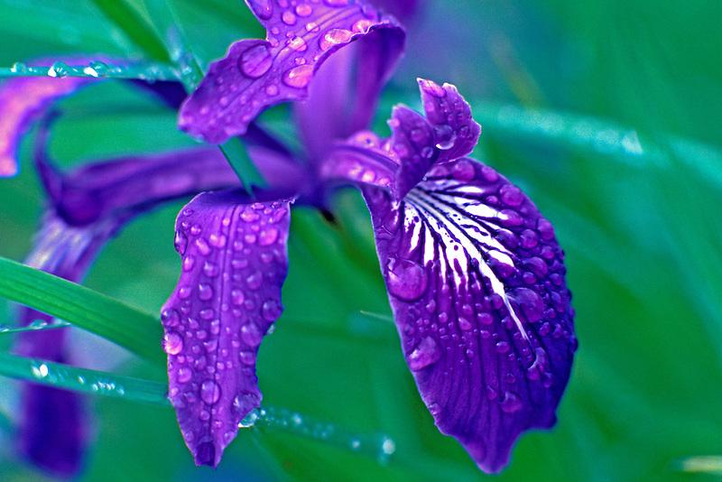 Wild iris after rain. Near Monroe, Oregon