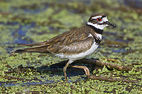 Killdeer (charadrius vociferus) walking on a mat of weeds at Murray Marsh, Alberta, Canada