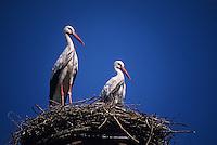 Europe/France/Alsace/67/Bas-Rhin/Menchhoffen: Cigognes dans le nid [sur le toit de l'église]