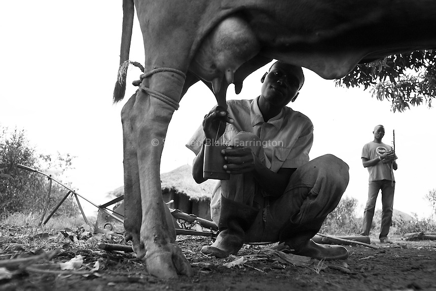 Empowering Victims of War- Milking. One of the many activities executed on the farm. Canaan Family Farm lends land to displaced people from the Northern conflict to have them learn the benefits of work and empowerment. Rwakayata, Masindi, Uganda, Africa. December 2005 © Stephen Blake Farrington