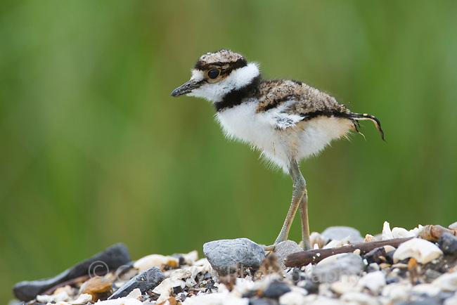 Lightly oiled Killdeer (Charadrius vociferus) chick. Plaquemines Parish, Louisiana. July 2010.