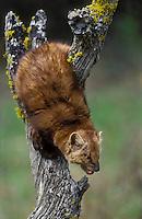 Marten aka Pine Marten (Martes americana).