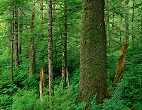 Old growth sitka spruce tree in Tongass National Forest, Alaska.
