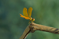 304570015 a wild male mexican amberwing perithemis intensa perches on a dead stick near an irrigation canal west of el centro in imperial county california