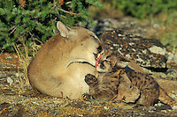 Mountain lion, cougar, or puma (Puma concolor) mother cleaning young cub, Western U.S.
