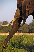 Young African Elephant using trunk to gather food. (Loxodonta Africana)  Africa.