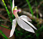 White Caladenia Orchid