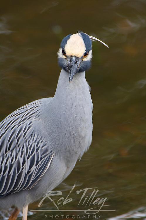 USA, FL, Sanibel, Yellow-Crowned Night Heron (Nycticorax violaceus)