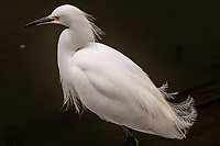 A Snowy egret displays some of its plummage while searching for food.