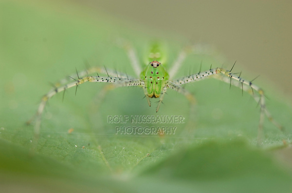 Green Lynx Spider, Peucetia viridans, adult,Willacy County, Rio Grande Valley, Texas, USA, June 2006