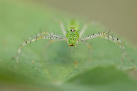 Green Lynx Spider, Peucetia viridans, adult,Willacy County, Rio Grande Valley, Texas, USA, June 2006