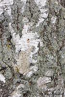 0202-0901  Eastern Gray Treefrog on White Bark (Grey Tree Frog), Hyla versicolor  © David Kuhn/Dwight Kuhn Photography.