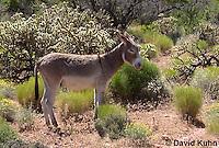 0711-1003  Wild Burro (Feral Donkey), Mojave Desert, Equus africanus asinus  © David Kuhn/Dwight Kuhn Photography
