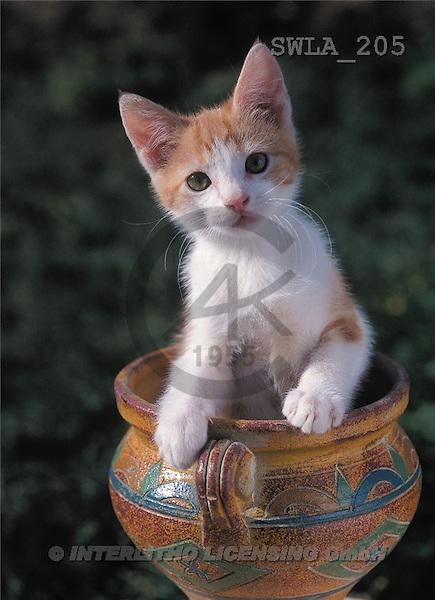 Carl, ANIMALS, photos(SWLA205,#A#) Katzen, gatos