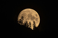A stunning photograph of a SuperMoon rising over the treetops. This is a Landscape Art Print Photograph of a Moonrise over the Monashee Mountains in British Columbia.