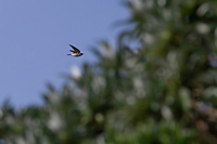 Tree Martin (Petrochelidon nigricans) (subspecies unknown), in flight, a very rare vagrant to the Snares Islands of New Zealand.