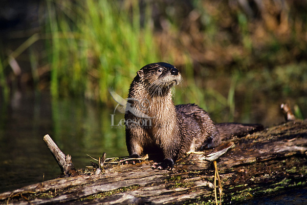 North American River Otter (Lontra canadensis).  Western U.S., Spring.