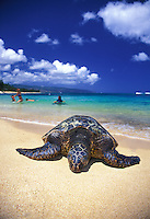 Green sea turtle and swimmers at Laniakea beach on Oahu's north shore