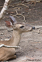 0528-1105  Central American White-tailed Deer, Belize, Female Deer, Odocoileus virginianus truei  © David Kuhn/Dwight Kuhn Photography