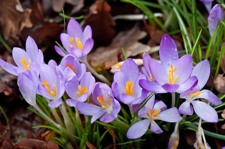 Crocus serotinus subsp. clusii, late February.