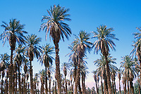 Death Valley National Park, California, CA, USA - Palm Trees (Arecaceae or Palmae) at Furnace Creek Golf Course