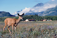 Black-tailed Deer aka Blacktail Deer (Odocoileus hemionus columbianus), Kootenay National Park, BC, British Columbia, Canada - North American Wildlife
