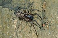 Fischernetzspinne, Bayerische Fischernetzspinne, Gespinstschlauch, Netz, Trichternetz, Segestria bavarica, snake-back spider, Segestriidae, Fischernetzspinnen