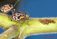 "1111-0811  Scentless Plant Bug Nymph with Eggs, Niesthrea louisianica ""Lifecycle"" © David Kuhn/Dwight Kuhn Photography."