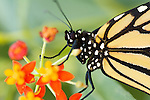 Monarch Macro high resolution
