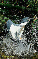 KG03-059x  Belted Kingfisher - male diving for fish in stream, caught fish, flying out - Megaceryle alcyon
