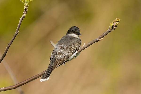 Eastern Kingbird (Tyrannus tyrannus).  Great Lakes Region.  May.