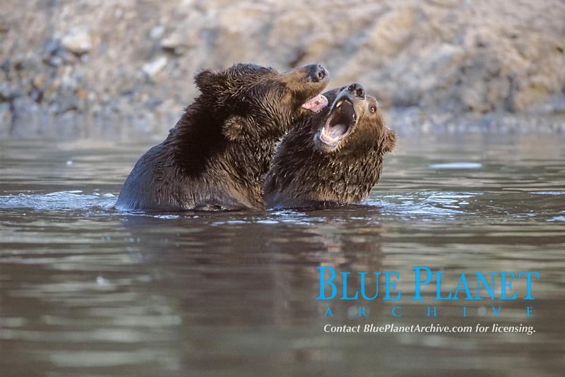 brown bear, Ursus arctos, grizzly bear, Ursus horribilis, pair of adult males play in a river, east coast of Katmai National Park, Alaska, USA