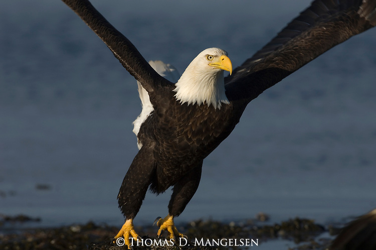 A bald eagle taking off from Kachemak Bay in Homer, Alaska.