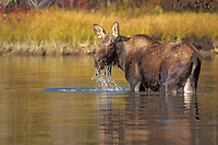 moose, Alces alces, yearling feed in a river, Grand Teton National Park, Wyoming, USA