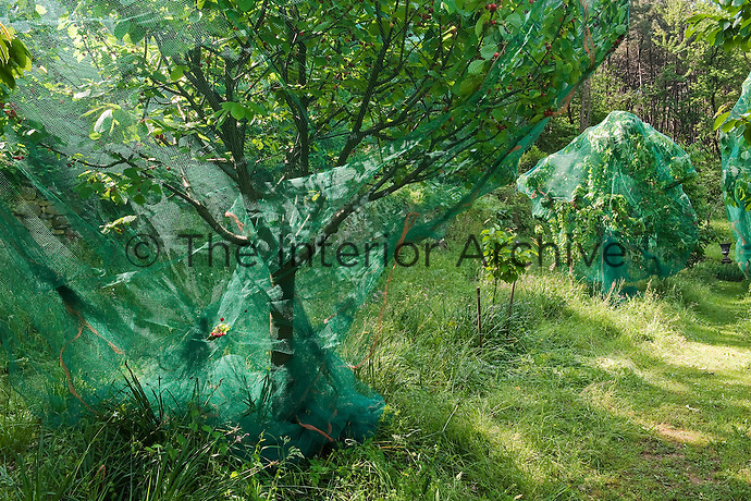 In the mature cherry orchards the trees are draped with protective netting