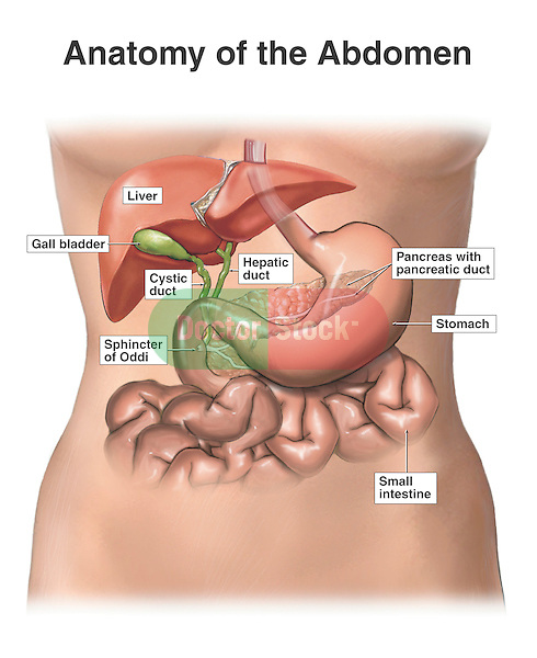 This medical exhibit depicts various digestive organs and structures within the female abdomen including the liver, stomach, cystic duct, gallbladder, pancreas, pancreatic duct, sphincter of Oddi and small intestine.