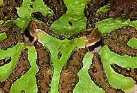 FR24-523k  Ornate Horned Frog, Ceratophrys ornata, Brazil