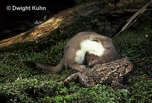 MA28-109z  Short-Tailed Weasel - ermine attempting to catch prey - toad has poisonous skin glands for protection - Mustela erminea