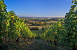Wine grape vines and view of Willamette Valley from Champoeg Vineyards, Oregon.