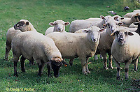 SH01-032z  Sheep - herd