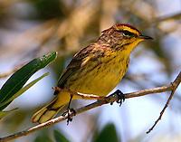 Adult palm warbler in breeding plumage