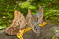 Four Owl Butterflies, Caligo sp., and one Blue Morpho butterfly, Morpho sp., feeding on a banana in the butterfly garden (mariposario) at Restaurante Selva Tropical, Guapiles, Costa Rica