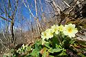 Primrose (Primula vulgaris) flowring in wooded limestone dale, dominated by Ash (Fraxinus excelsior). Peak District National Park, Derbyshire, UK. March.