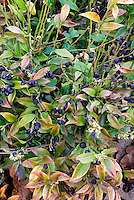 Sarcococca confusa in black winter berries and flowers, flowering shrub