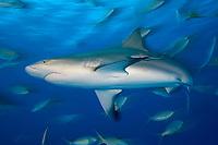 Carribean reef shark,Carcharhinus perezii, in the Bahamas, Caribbean, Atlantic