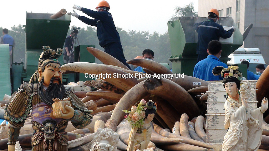 A handout photo from the Hong Kong-based 'AquaMeridian Conservation and Education Foundation' shows workers crushing 6.2 tonnes of confiscated ivory by Chinese customs officials under the supervision of China's State Forestry Administration, Huangpu Port, Dongguan, China, 06 January 2014. After the United States, Philippines, Gabon, Kenya and Zambia, China is the latest country to crush its confiscated ivory as a symbolic gesture, sending a message to consumers, traffickers and poachers in Africa and Asia that the ivory trade is wrong and will make Africa's last remaining elephant populations extinct within 15 years. Scientists estimate that 25,000 elephants were illegally killed in 2012.