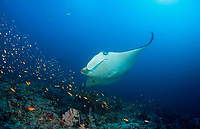 reef manta ray, Manta alfredi, at Panatone Thila cleaning station, south Ari Atoll