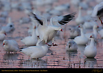 Snow Goose Landing at Dawn, Bosque del Apache Wildlife Refuge, New Mexico